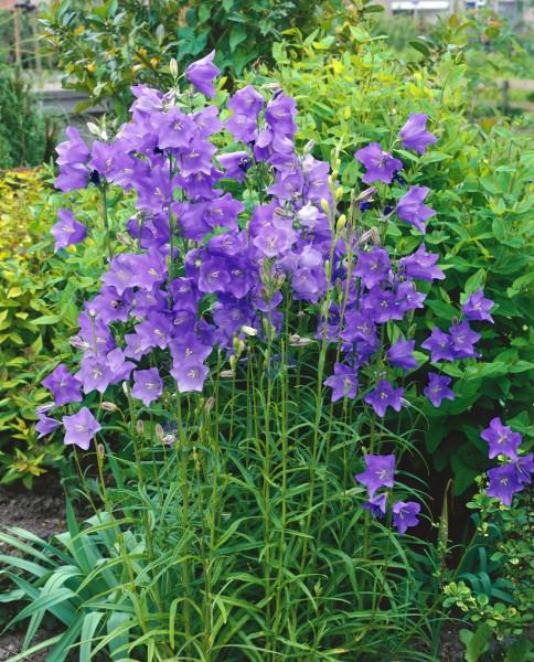 Glockenblume 'Grandiflora Coerulea' - Campanula persicifolia