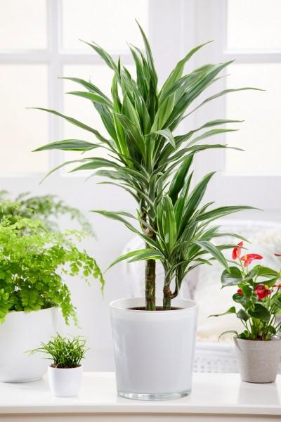 Drachenbaum 'Warneckii' - Dracaena deremensis