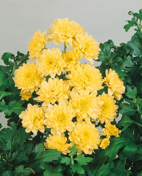 Garten-Chrysantheme 'Andromeda' - Chrysanthemum x hortorum