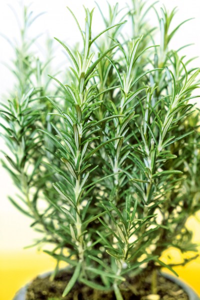 Rosmarin 'Rustica' - Rosmarinus officinalis