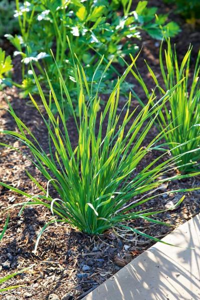 Schnittknoblauch - Allium tuberoseum