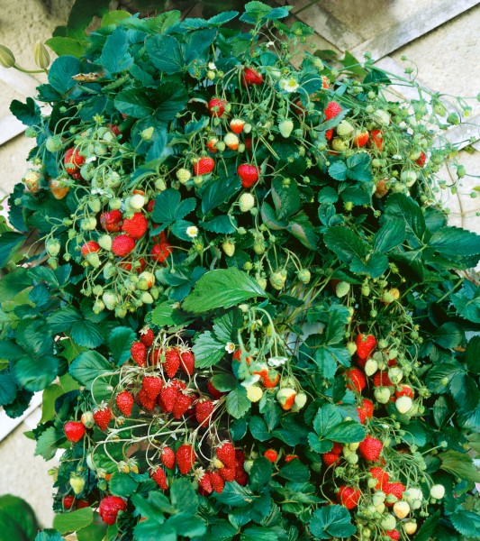 Klettererdbeere 'Mount Everest' - Fragaria vesca