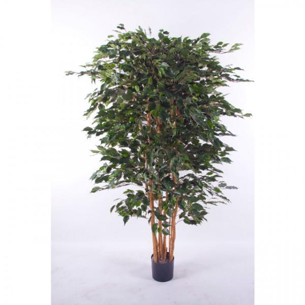 """Ficus benjamina """"Top"""""""