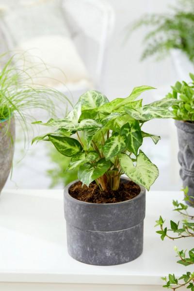 Purpurtute - Syngonium podophyllum