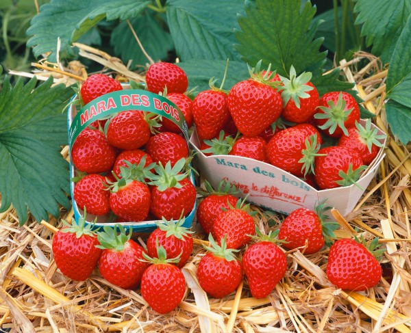 Erdbeere 'Mara de Bois' - Fragaria vesca