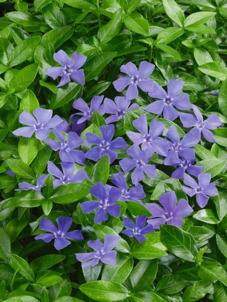 Kleines Immergrün - Vinca minor, blau