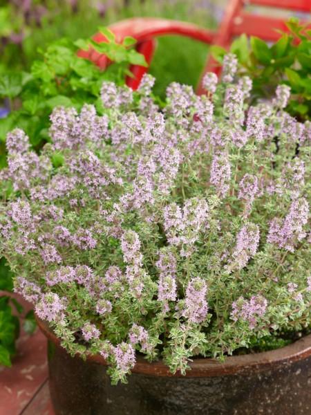 Thymian 'Silver Posie' - Thymus vulgaris
