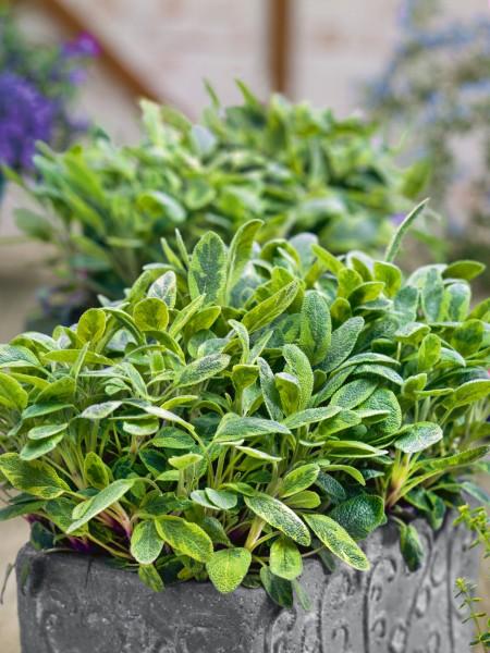 Salbei 'Icterina' - Salvia officinalis