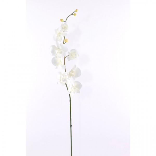 Phalaenopsis-Zweig