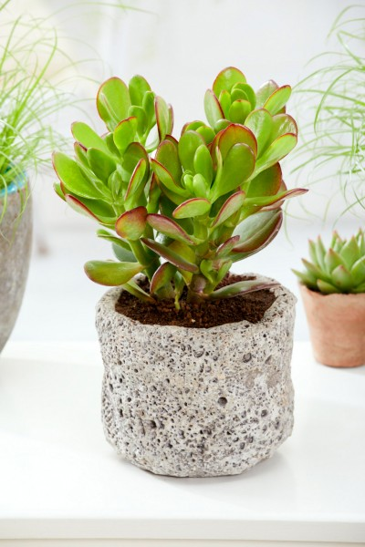 Geldbaum 'Magic Tree' - Crassula ovata