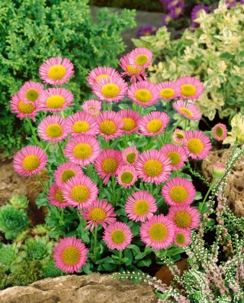 Feinstrahl 'Rosa Juwel' - Erigeron speciosus
