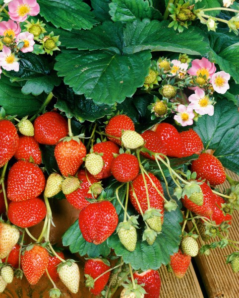 Erdbeere 'Roman' - Fragaria vesca