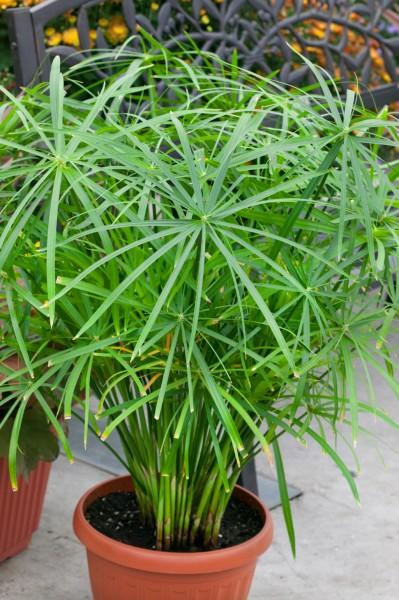 Zypergras - Cyperus involucratus