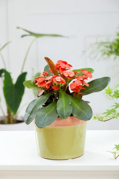Christusdorn 'Miliana Rosso' - Euphorbia milii