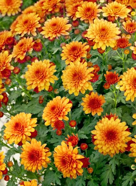 Garten-Chrysantheme 'Gumpi Bronze' - Chrysanthemum x hortorum