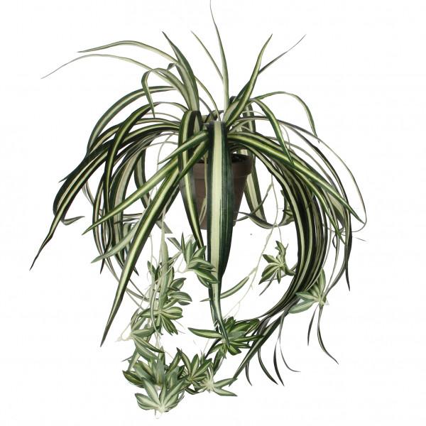Chlorophytum