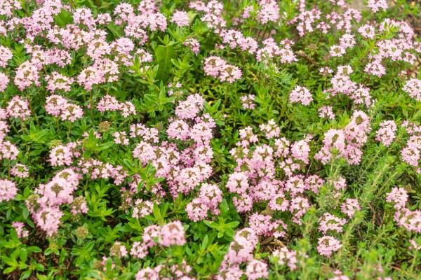 Quendel - Thymus pulegioides