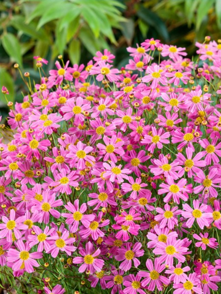 Mädchenauge 'American Dream' - Coreopsis rosea