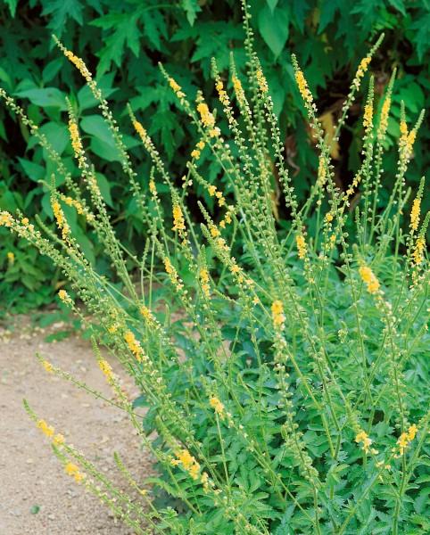Odermennig - Agrimonia eupatoria