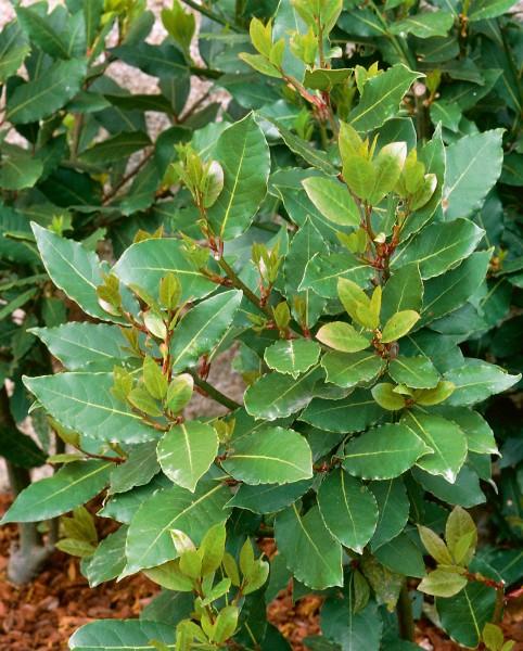 Gewürz-Lorbeer - Laurus nobilis