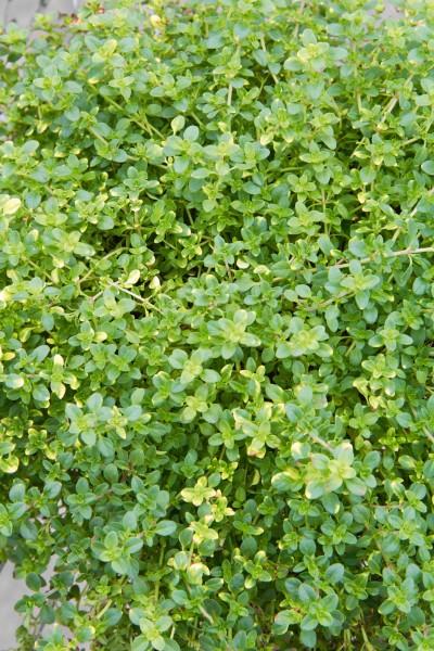 Zitronen-Thymian 'Doone Valley' - Thymus x citriodorus