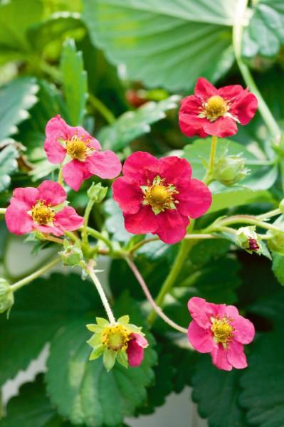 Erdbeere 'Toscana' - Fragaria vesca