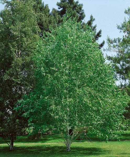 Himalaya-Birke - Betula utilis