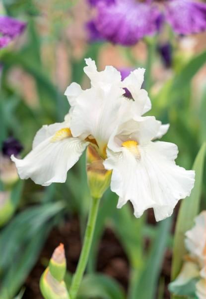 Hohe Schwertlilie 'Boule de Neige' - Iris x barbata-elatior