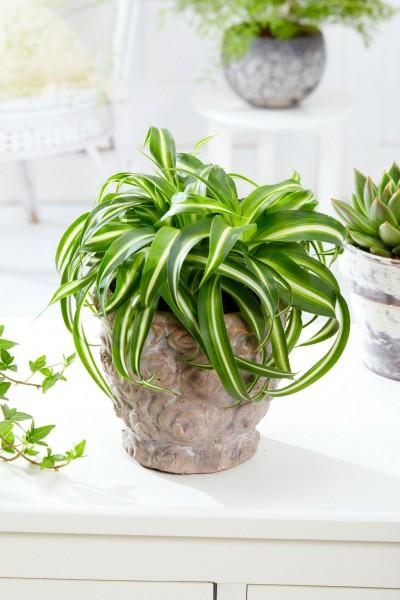 Grünlilie 'Bonnie' - Chlorophythum comosum