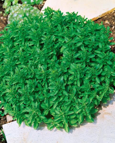 Oregano, Dost - Origanum vulgare