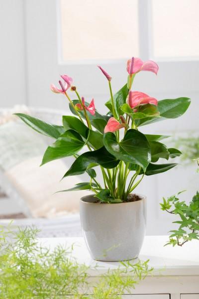 Grosse Flamingoblume 'Joli rosa' - Anthurium andreanum