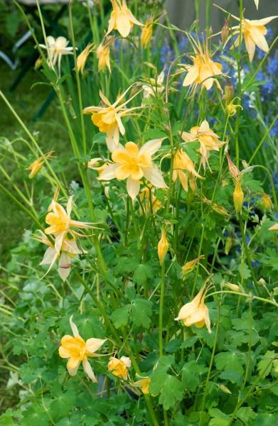 Akelei 'Yellow Queen' - Aquilegia chrysantha