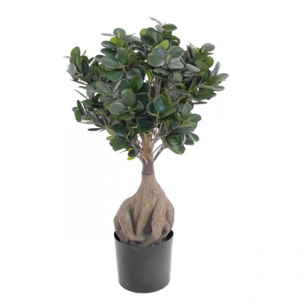 Ficus Panda Bonsai