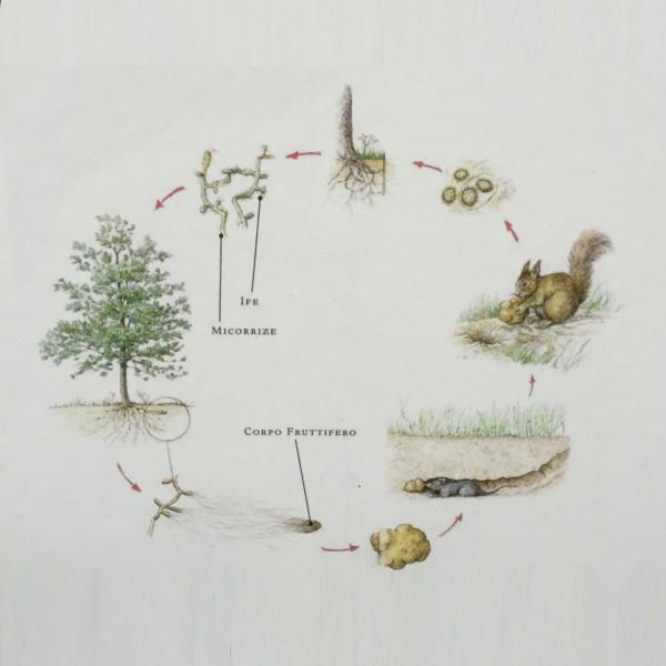 Trüffelpflanze Corylus avellana