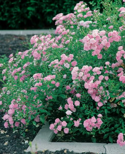 Bodendeckerrose 'TheFairy' - Rosa x hybrida