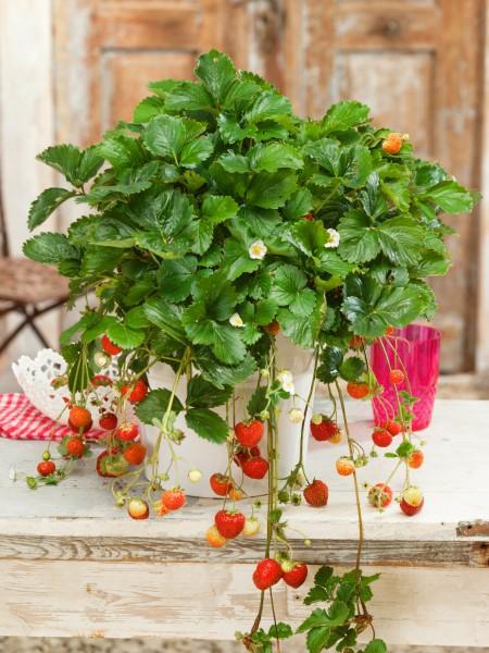 Erdbeere 'Siskeep' - Fragaria vesca