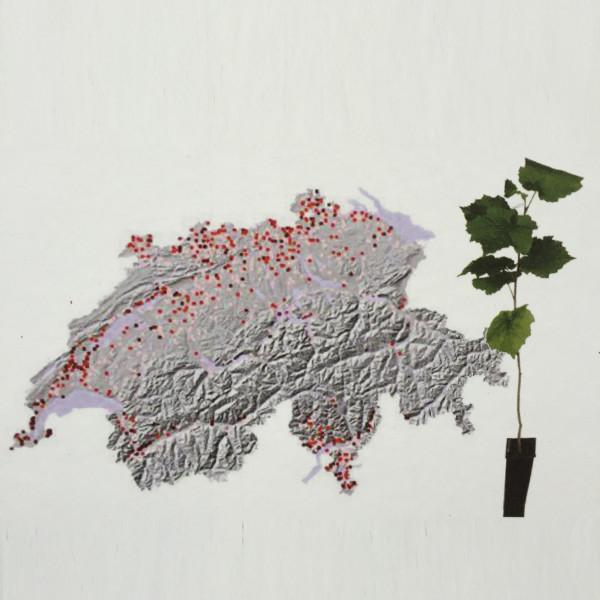 Trüffelpflanze Carpinus betulus