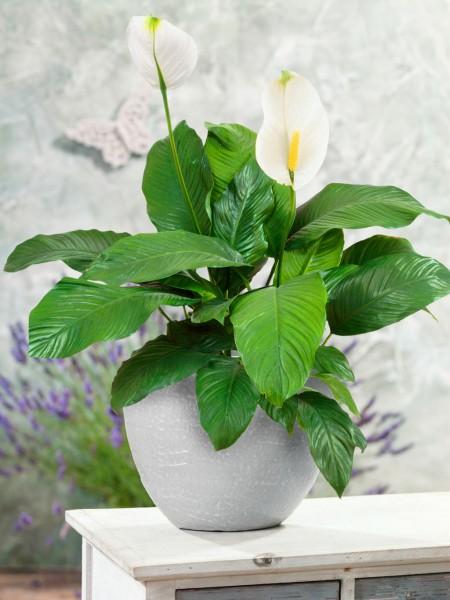 Einblatt 'Sweet Lauretta' - Spathiphyllum wallisii
