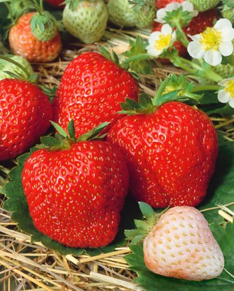 Erdbeere 'Madame Moutôt' - Fragaria ananassa