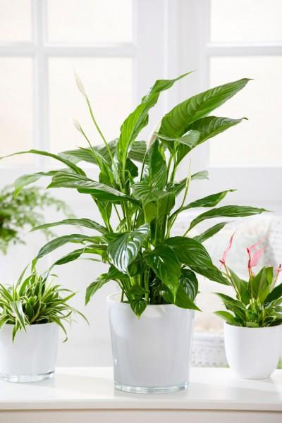 Einblatt - Spathiphyllum wallisii