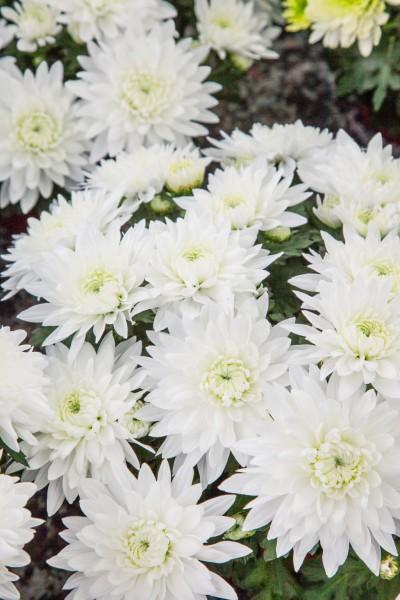 Garten-Chrysantheme 'Thurgau' - Chrysanthemum x hortorum