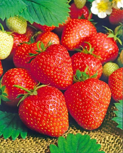Erdbeere 'Thuriga' - Fragaria ananassa