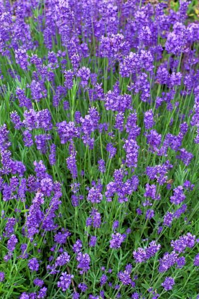 Lavendel 'Munstead' - Lavandula angustifolia
